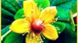 St. John's Wort is an alternative therapy for depression. Read all about St. John's Wort and the treatment of depression. HealthyPlace.com Depression Center