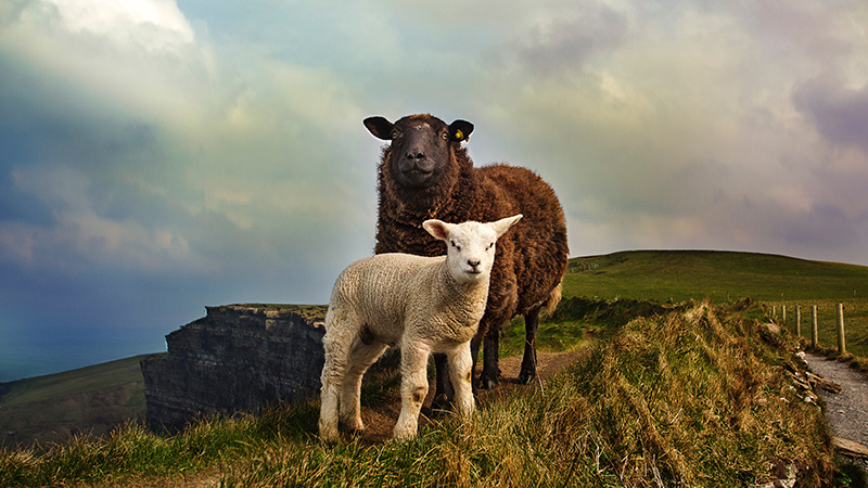Mental health stigma makes many people feel as if they are the black sheep of humanity. The reality: people are each unique - so we're all a black sheep.